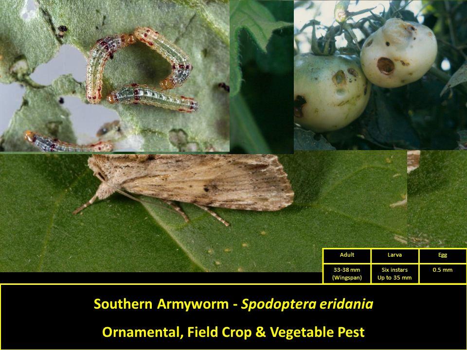 Southern Armyworm - Spodoptera eridania Ornamental, Field Crop & Vegetable Pest AdultLarvaEgg 33-38 mm (Wingspan) Six instars Up to 35 mm 0.5 mm