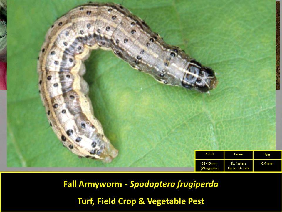 Fall Armyworm - Spodoptera frugiperda Turf, Field Crop & Vegetable Pest AdultLarvaEgg 32-40 mm (Wingspan) Six instars Up to 34 mm 0.4 mm