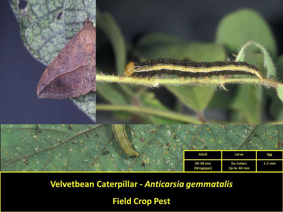 Velvetbean Caterpillar - Anticarsia gemmatalis Field Crop Pest AdultLarvaEgg 30-38 mm (Wingspan) Six instars Up to 48 mm 1-2 mm