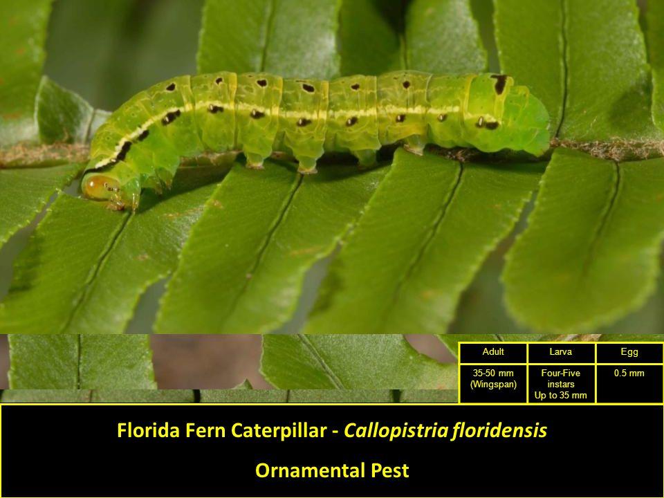 Florida Fern Caterpillar - Callopistria floridensis Ornamental Pest AdultLarvaEgg 35-50 mm (Wingspan) Four-Five instars Up to 35 mm 0.5 mm