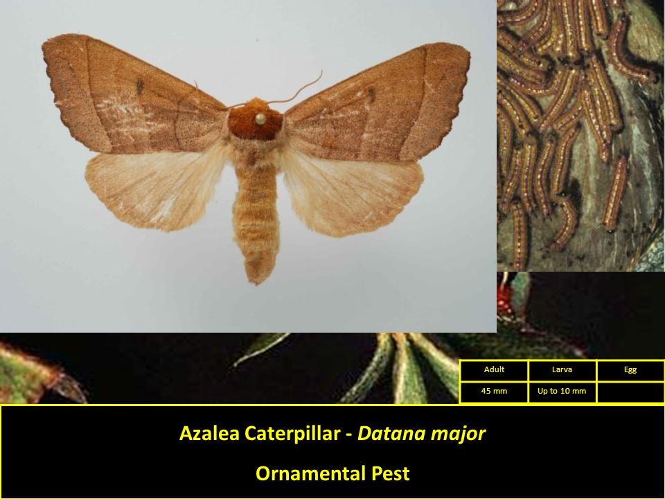 Azalea Caterpillar - Datana major Ornamental Pest AdultLarvaEgg 45 mmUp to 10 mm