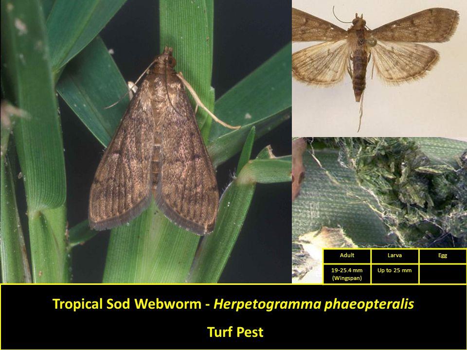 Tropical Sod Webworm - Herpetogramma phaeopteralis Turf Pest AdultLarvaEgg 19-25.4 mm (Wingspan) Up to 25 mm