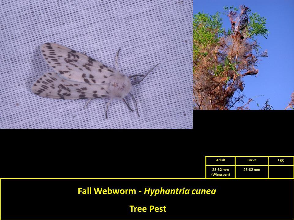 Fall Webworm - Hyphantria cunea Tree Pest AdultLarvaEgg 25-32 mm (Wingspan) 25-32 mm