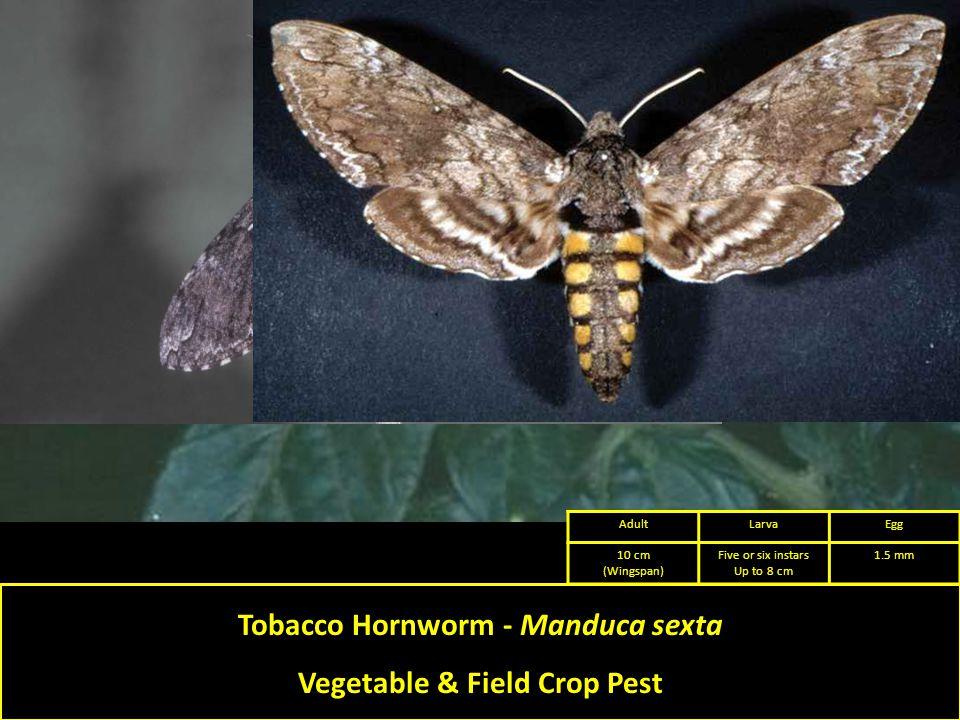 Tobacco Hornworm - Manduca sexta Vegetable & Field Crop Pest AdultLarvaEgg 10 cm (Wingspan) Five or six instars Up to 8 cm 1.5 mm