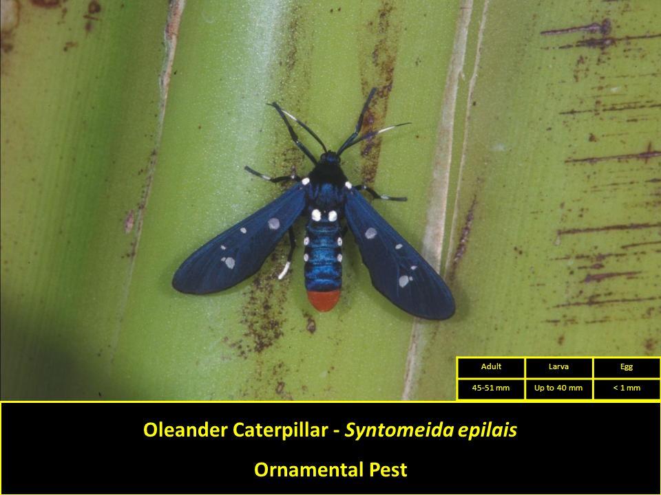 Oleander Caterpillar - Syntomeida epilais Ornamental Pest AdultLarvaEgg 45-51 mmUp to 40 mm< 1 mm