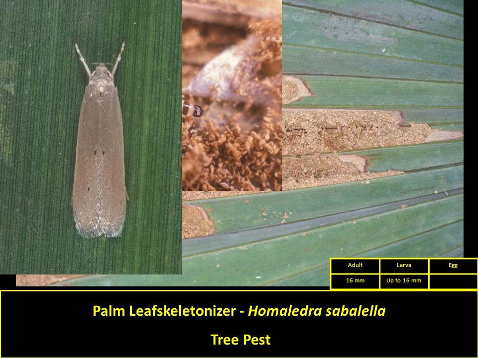 Palm Leafskeletonizer - Homaledra sabalella Tree Pest AdultLarvaEgg 16 mmUp to 16 mm