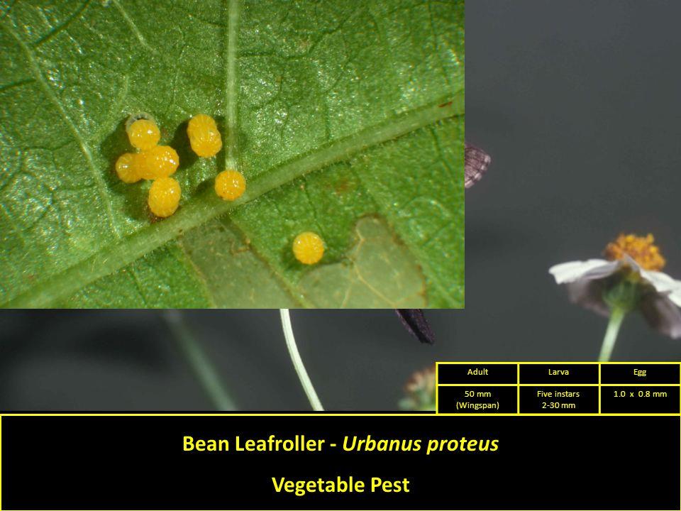 Bean Leafroller - Urbanus proteus Vegetable Pest AdultLarvaEgg 50 mm (Wingspan) Five instars 2-30 mm 1.0 x 0.8 mm