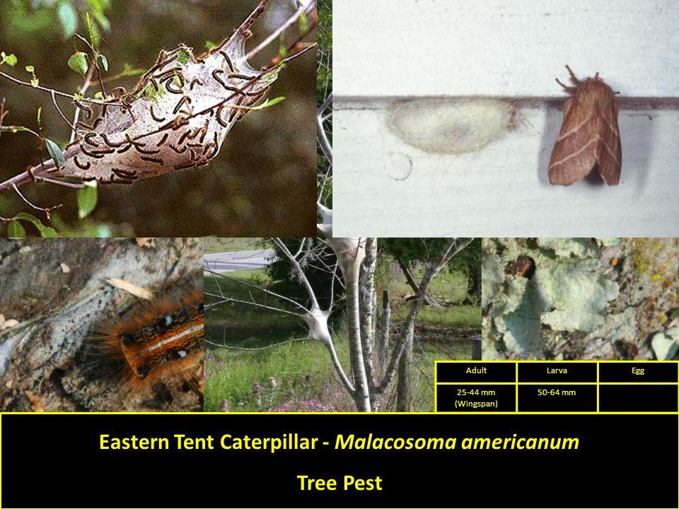 Eastern Tent Caterpillar - Malacosoma americanum Tree Pest AdultLarvaEgg 25-44 mm (Wingspan) 50-64 mm