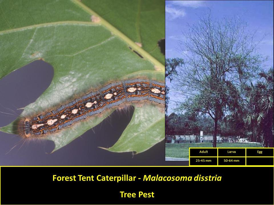 Forest Tent Caterpillar - Malacosoma disstria Tree Pest AdultLarvaEgg 25-45 mm50-64 mm