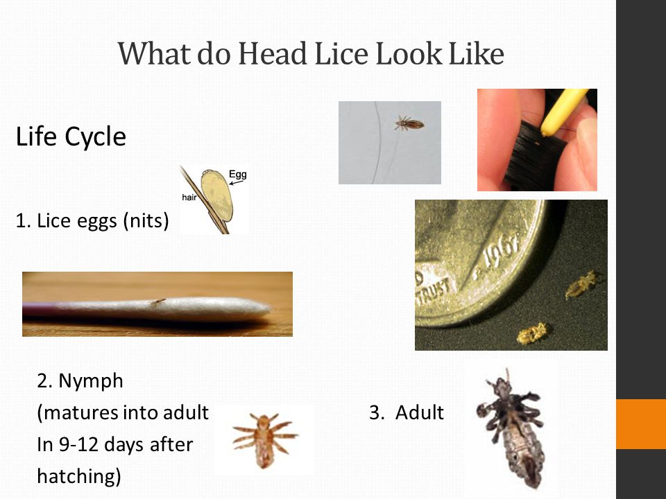 What do Head Lice Look Like Life Cycle 1. Lice eggs (nits) 2. Nymph (matures into adult 3. Adult In 9-12 days after hatching)