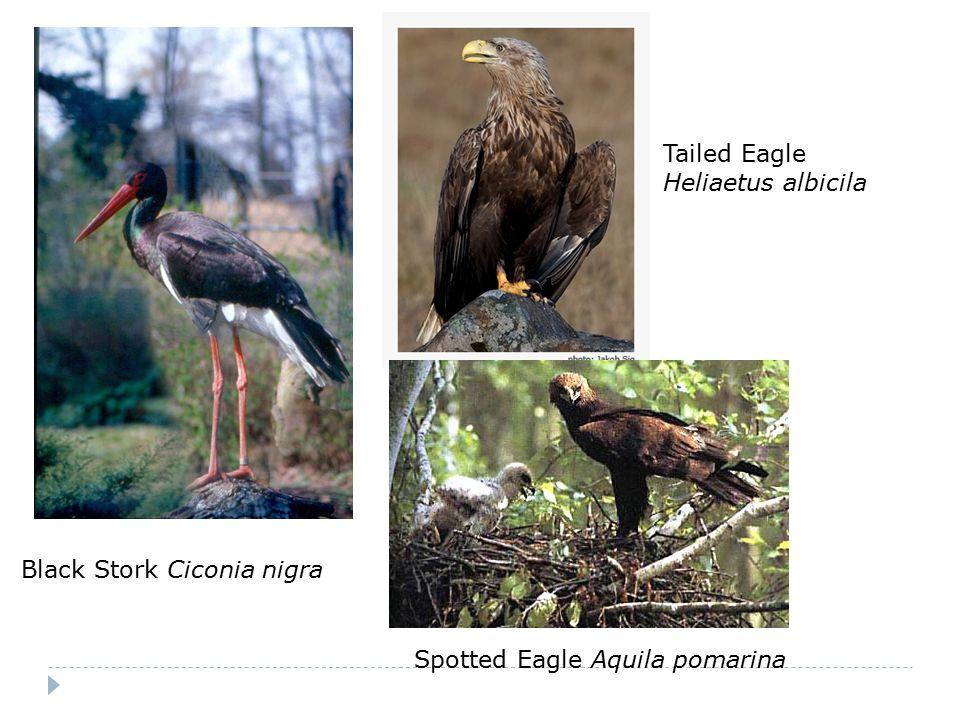 Black Stork Ciconia nigra Tailed Eagle Heliaetus albicila Spotted Eagle Aquila pomarina