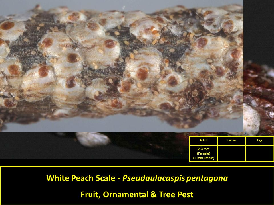 White Peach Scale - Pseudaulacaspis pentagona Fruit, Ornamental & Tree Pest AdultLarvaEgg 2-3 mm (Female) <1 mm (Male)