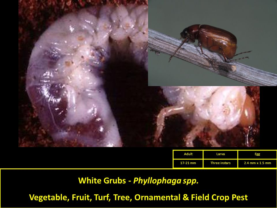 White Grubs - Phyllophaga spp.