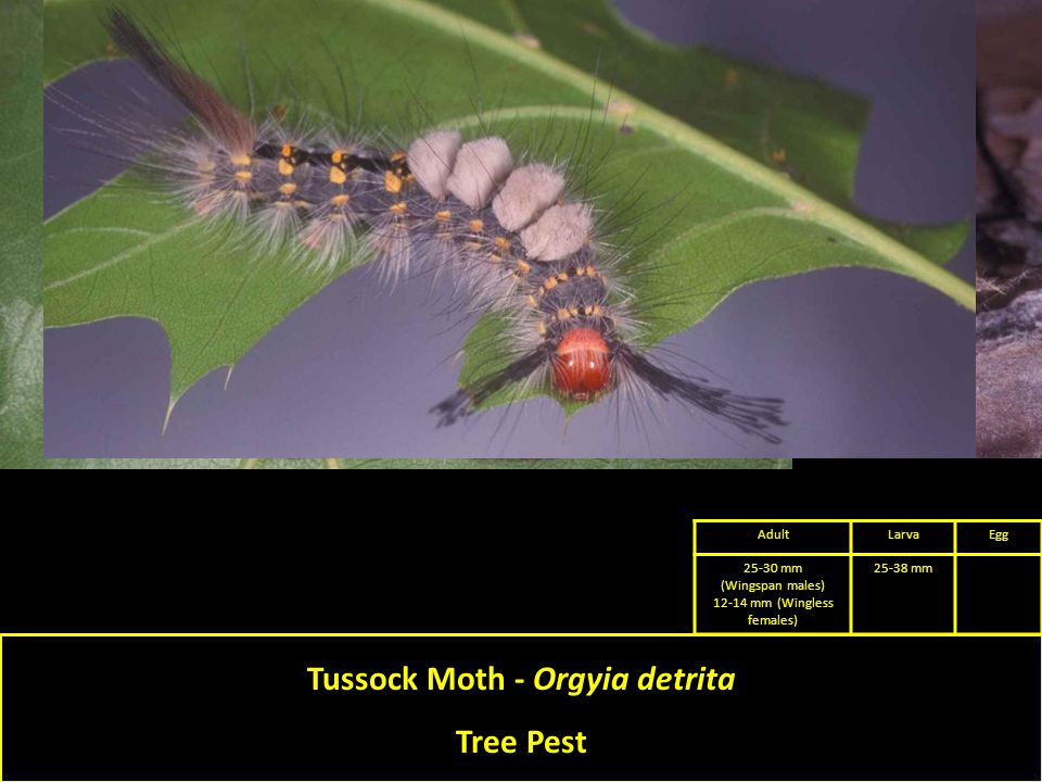 Tussock Moth - Orgyia detrita Tree Pest AdultLarvaEgg 25-30 mm (Wingspan males) 12-14 mm (Wingless females) 25-38 mm