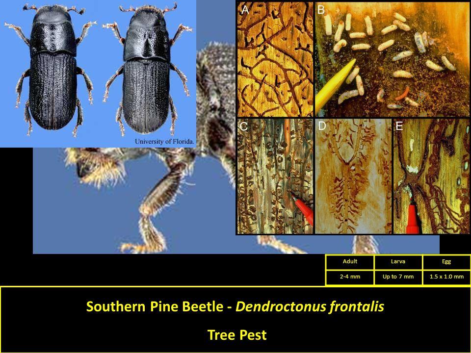 Southern Pine Beetle - Dendroctonus frontalis Tree Pest AdultLarvaEgg 2-4 mmUp to 7 mm1.5 x 1.0 mm