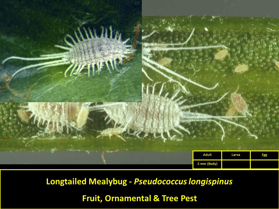 Longtailed Mealybug - Pseudococcus longispinus Fruit, Ornamental & Tree Pest AdultLarvaEgg 3 mm (Body)