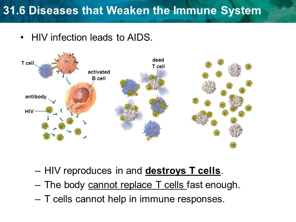 31.6 Diseases that Weaken the Immune System HIV infection leads to AIDS.