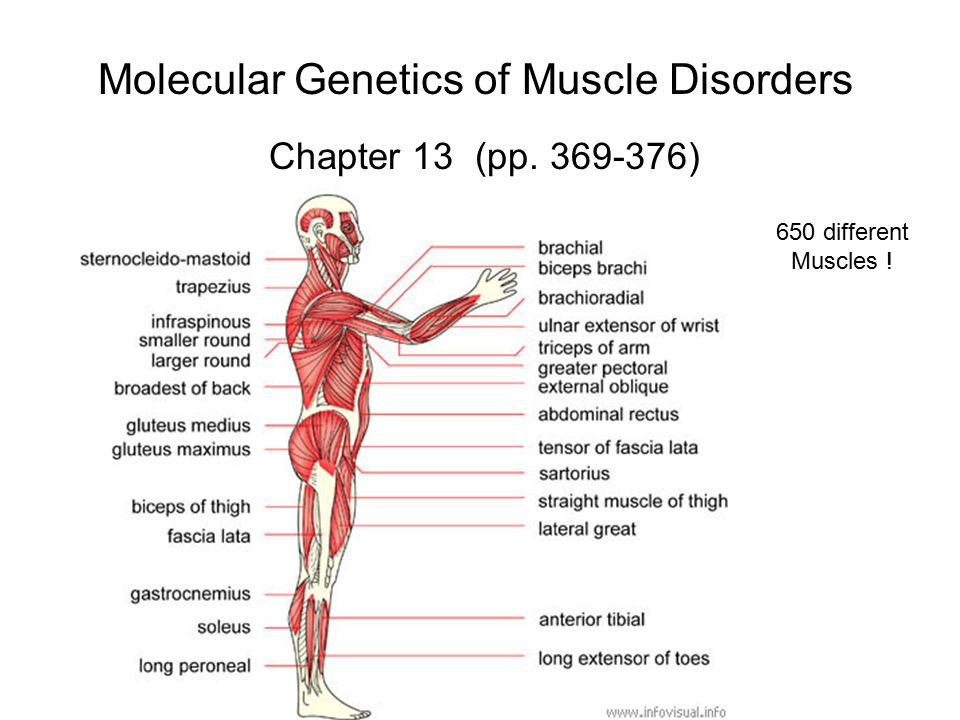 Molecular Genetics of Muscle Disorders Chapter 13 (pp. 369-376) 650 different Muscles !