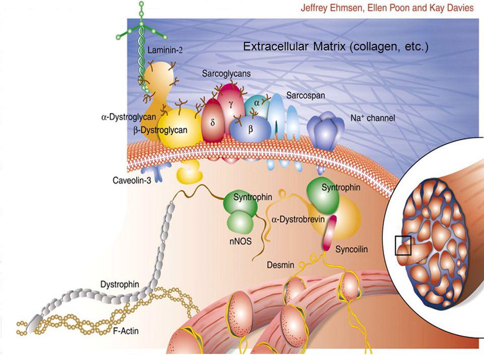 Extracellular Matrix (collagen, etc.)