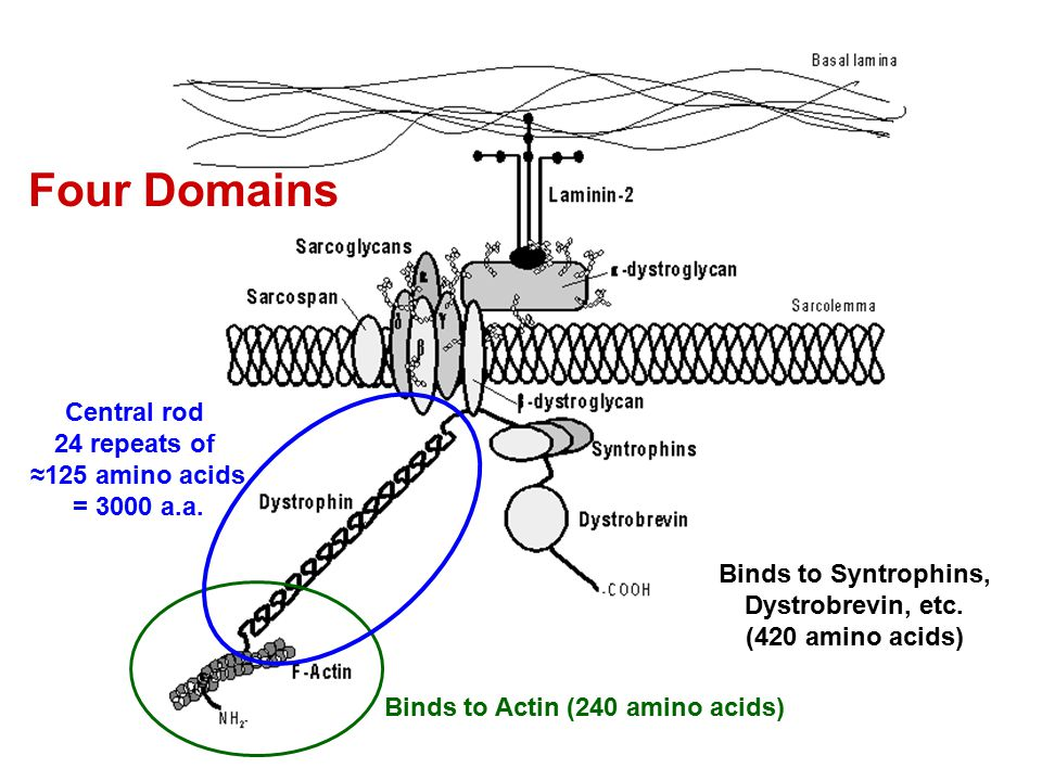 Binds to Actin (240 amino acids) Central rod 24 repeats of ≈125 amino acids = 3000 a.a. Binds to Syntrophins, Dystrobrevin, etc. (420 amino acids) Fou