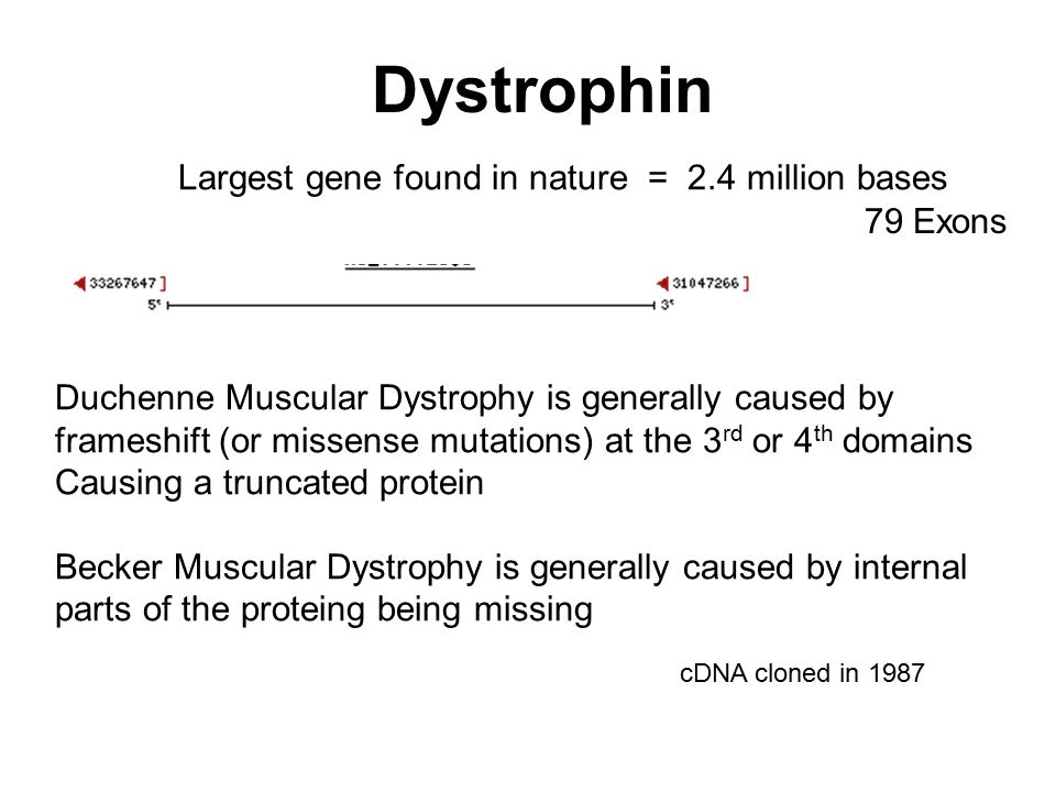 Largest gene found in nature = 2.4 million bases Dystrophin 79 Exons Duchenne Muscular Dystrophy is generally caused by frameshift (or missense mutati