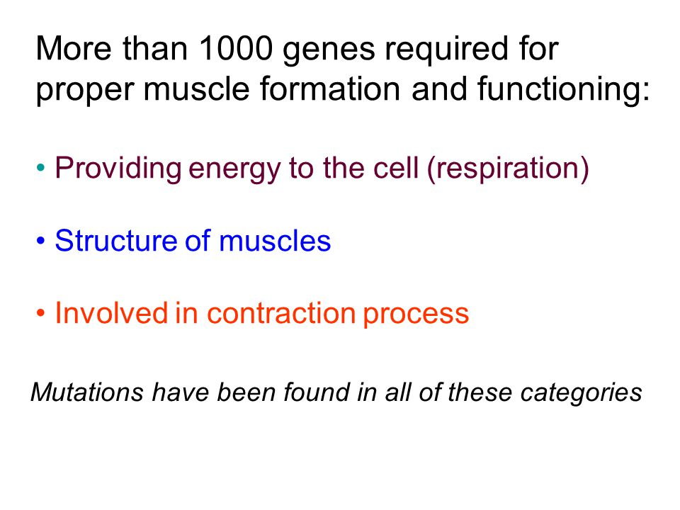 More than 1000 genes required for proper muscle formation and functioning: Providing energy to the cell (respiration) Structure of muscles Involved in