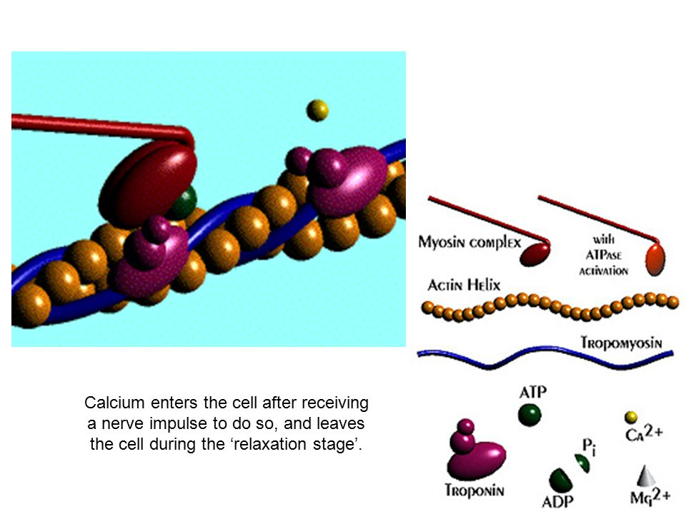 Calcium enters the cell after receiving a nerve impulse to do so, and leaves the cell during the 'relaxation stage'.