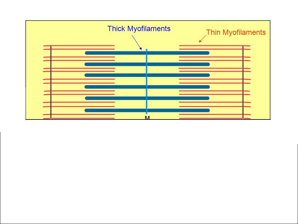 Thin Myofilaments Thick Myofilaments