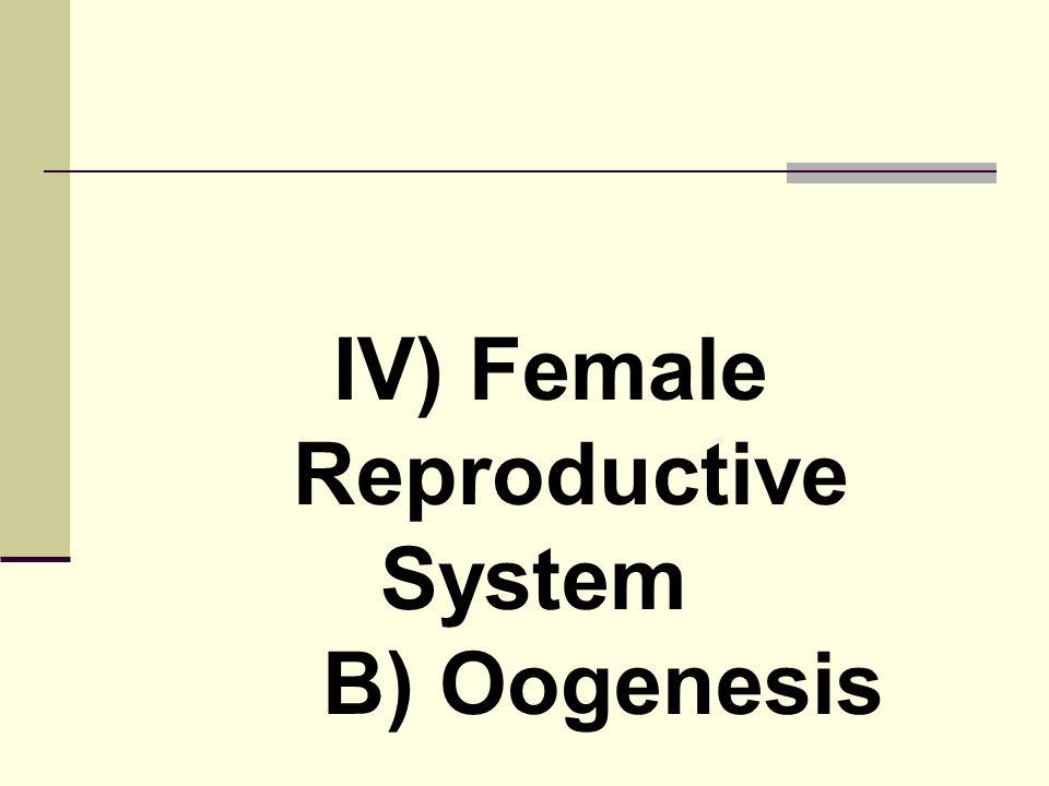 IV) Female Reproductive System B) Oogenesis