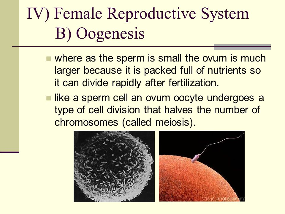 where as the sperm is small the ovum is much larger because it is packed full of nutrients so it can divide rapidly after fertilization. like a sperm