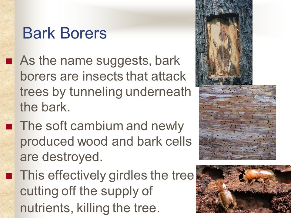Bark Borers In addition, the damage caused by bark borers often provides an entry point for diseases and other pests to attack the tree.