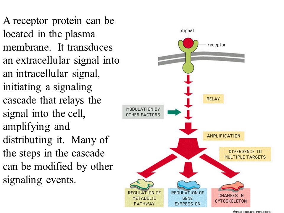 Acetylcholine acts at a G-protein-linked receptor on heart muscle to make the heart beat more slowly by the effect of the G protein on a K+ channel.