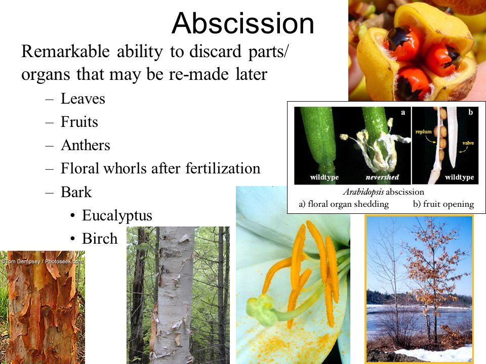 Abscission Remarkable ability to discard parts/ organs that may be re-made later –Leaves –Fruits –Anthers –Floral whorls after fertilization –Bark Eucalyptus Birch