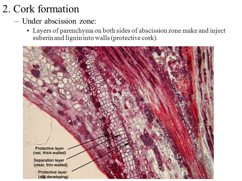2. Cork formation –Under abscission zone: Layers of parenchyma on both sides of abscission zone make and inject suberin and lignin into walls (protect