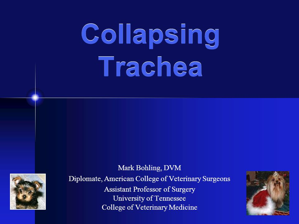 Collapsing Trachea Mark Bohling, DVM Diplomate, American College of Veterinary Surgeons Assistant Professor of Surgery University of Tennessee College of Veterinary Medicine