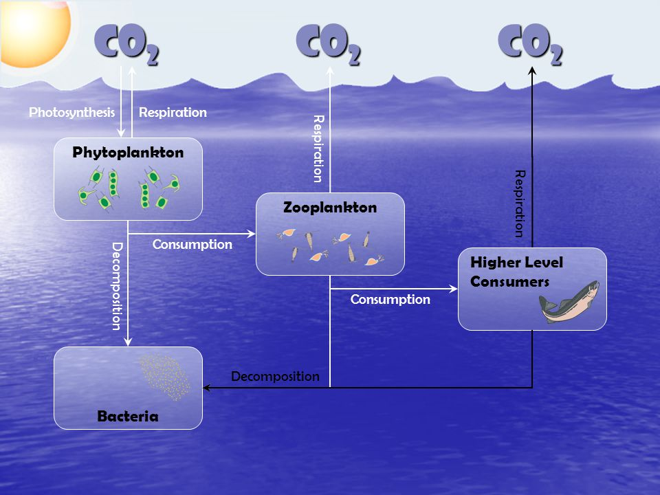 CO 2 Phytoplankton Zooplankton Higher Level Consumers Bacteria Consumption Decomposition Respiration Photosynthesis