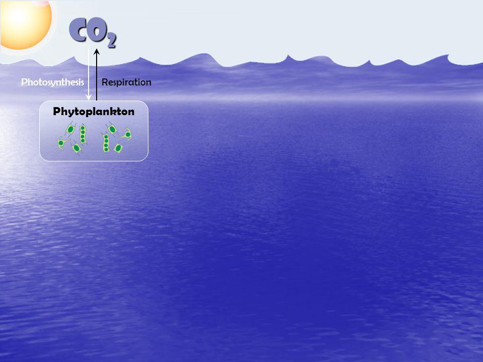CO 2 Phytoplankton RespirationPhotosynthesis