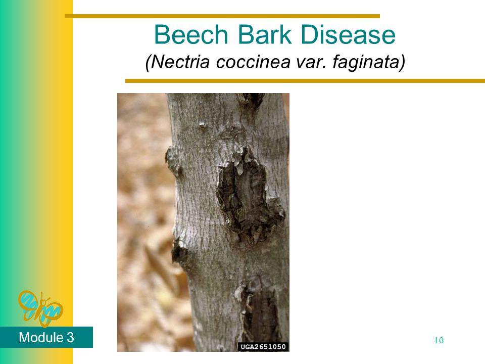 Module 3 10 Beech Bark Disease (Nectria coccinea var. faginata)