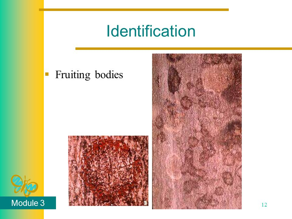 Module 3 12 Identification  Fruiting bodies