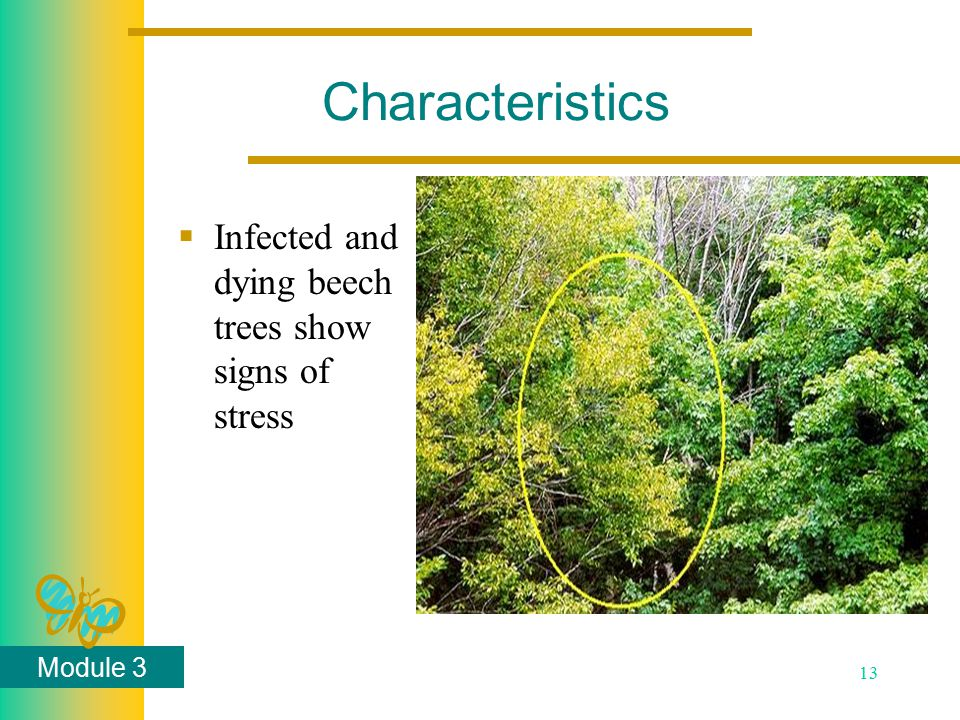 Module 3 13 Characteristics  Infected and dying beech trees show signs of stress