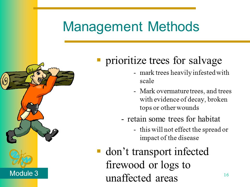 Module 3 16  prioritize trees for salvage -mark trees heavily infested with scale -Mark overmature trees, and trees with evidence of decay, broken tops or other wounds -retain some trees for habitat -this will not effect the spread or impact of the disease  don't transport infected firewood or logs to unaffected areas Management Methods
