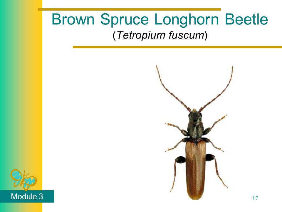 Module 3 17 Brown Spruce Longhorn Beetle (Tetropium fuscum)