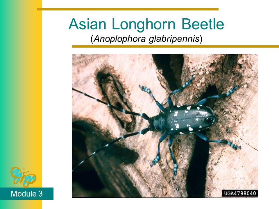 2 Asian Longhorn Beetle (Anoplophora glabripennis)