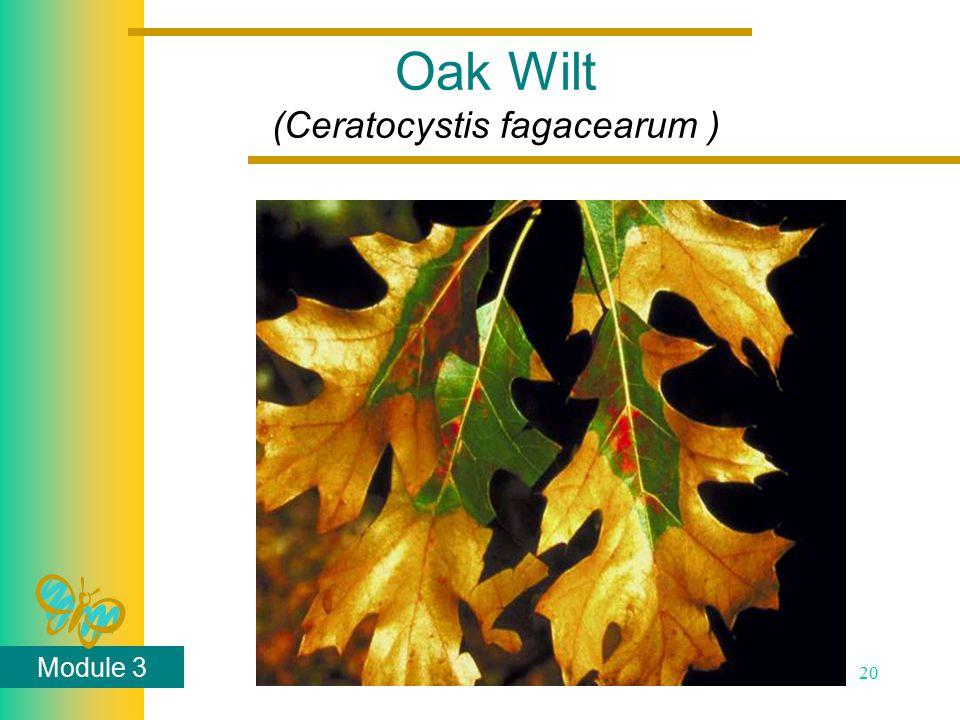 Module 3 20 Oak Wilt (Ceratocystis fagacearum )