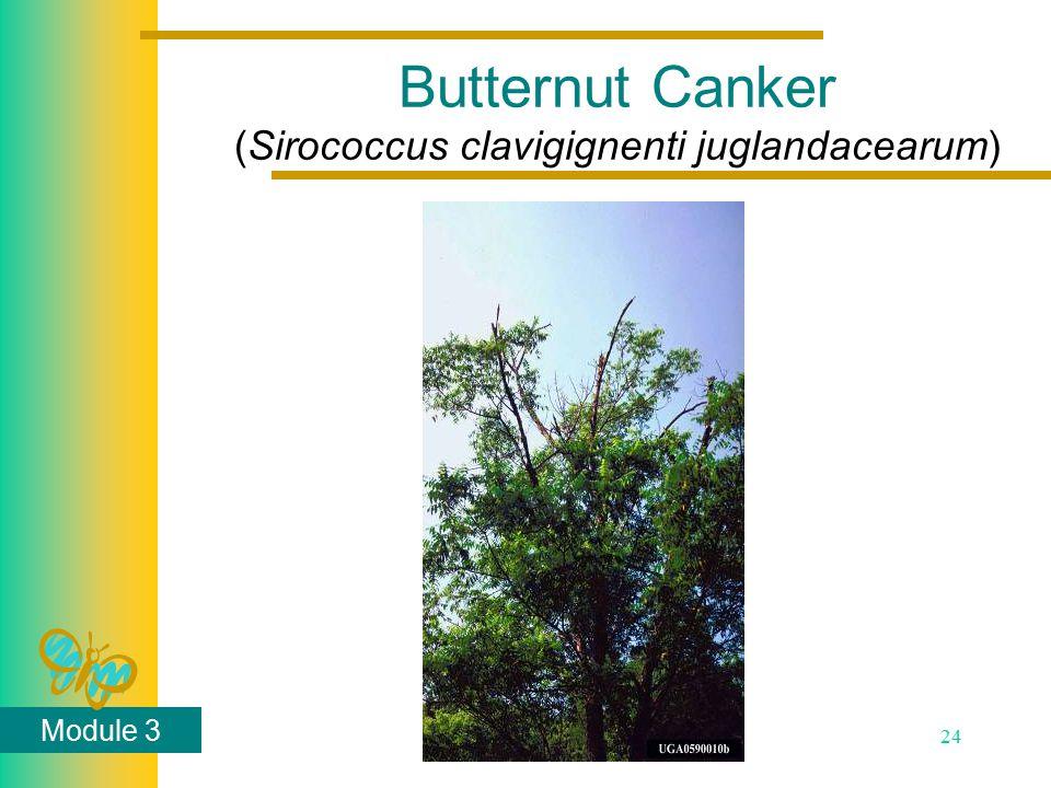 Module 3 24 Butternut Canker (Sirococcus clavigignenti juglandacearum)
