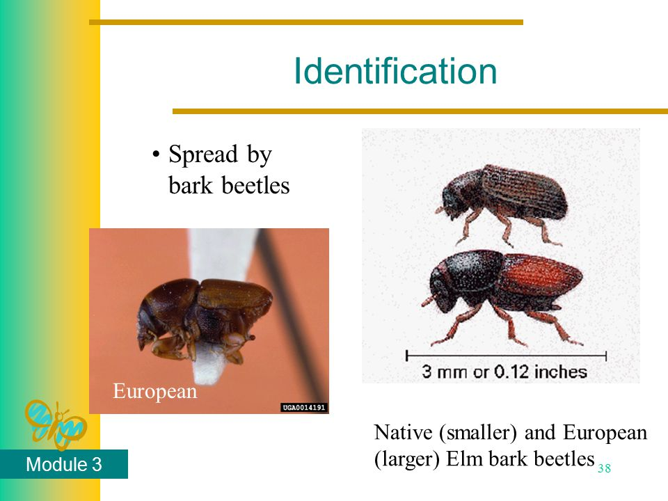 Module 3 38 Identification Spread by bark beetles Native (smaller) and European (larger) Elm bark beetles European