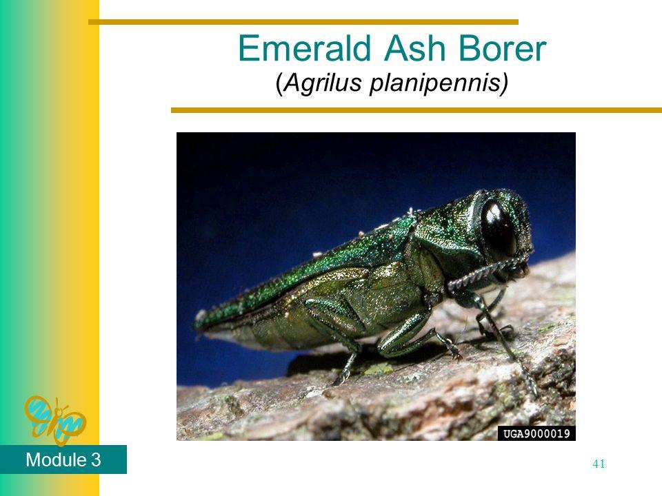 Module 3 41 Emerald Ash Borer (Agrilus planipennis)