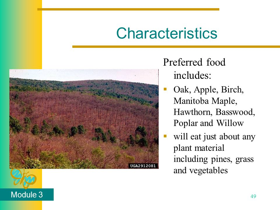 Module 3 49 Characteristics Preferred food includes:  Oak, Apple, Birch, Manitoba Maple, Hawthorn, Basswood, Poplar and Willow  will eat just about