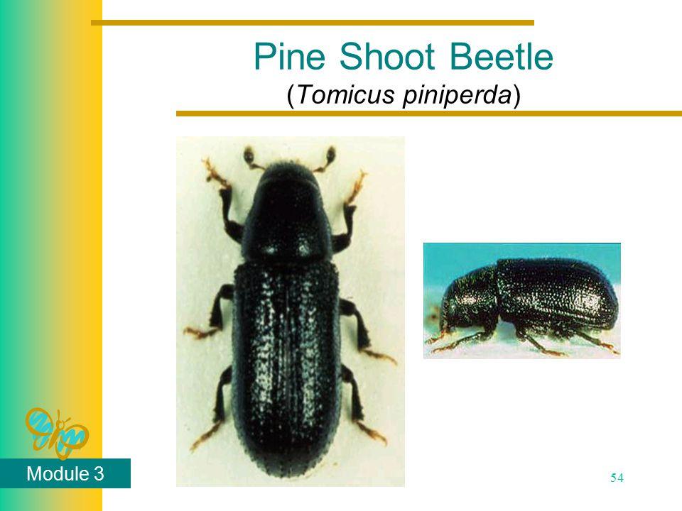 Module 3 54 Pine Shoot Beetle (Tomicus piniperda)