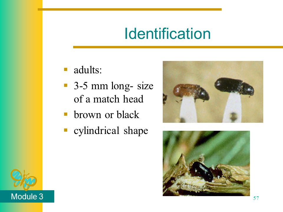 Module 3 57 Identification  adults:  3-5 mm long- size of a match head  brown or black  cylindrical shape